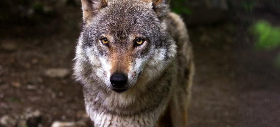 wolf-gris